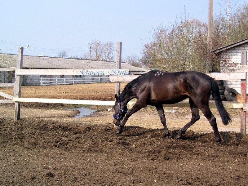 Лошадь по розыску. Идет по следу.