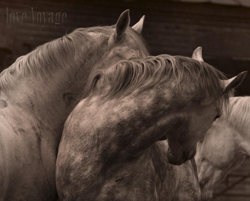 мои серые лошади