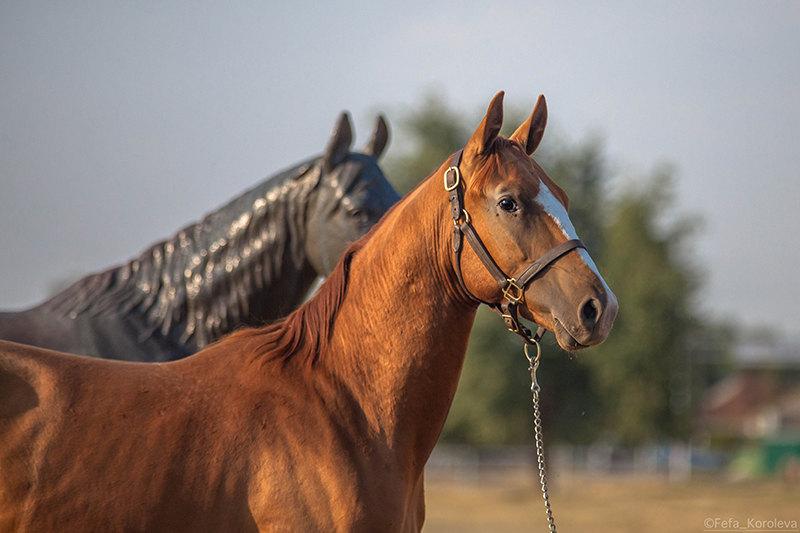 Донской жеребчик 2014 г.р. Гетман 8 ( Глицерин 69 - Мадам 42)  на фоне скульптуры Рубидия. На выставке Золотая лошадь 2015.