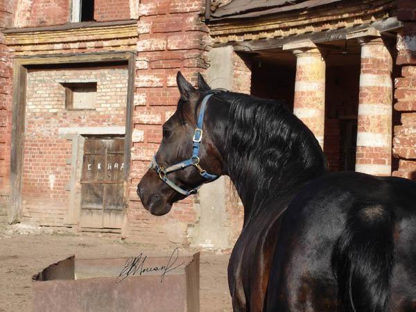жеребец-производитель на  Псковском конном заводе