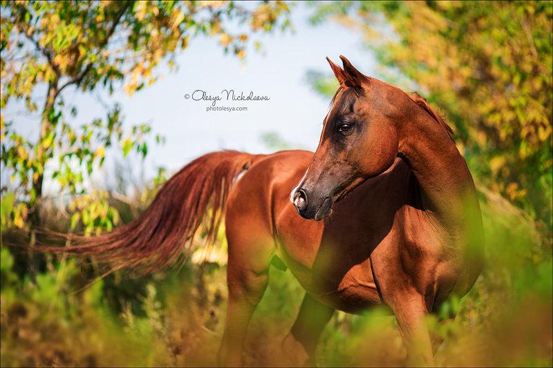 Возраст - не помеха красоте! На фото утончённая и прекрасная арабская кобыла Выпь, 22 года.
