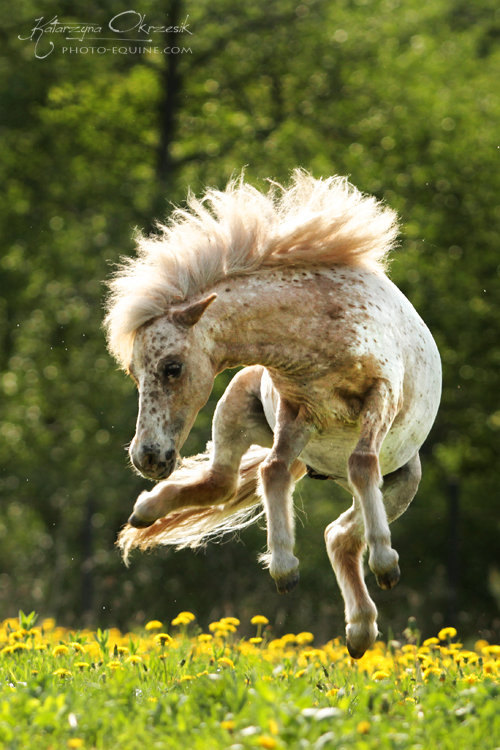 Miniature apaloossa pony Lucky Boy