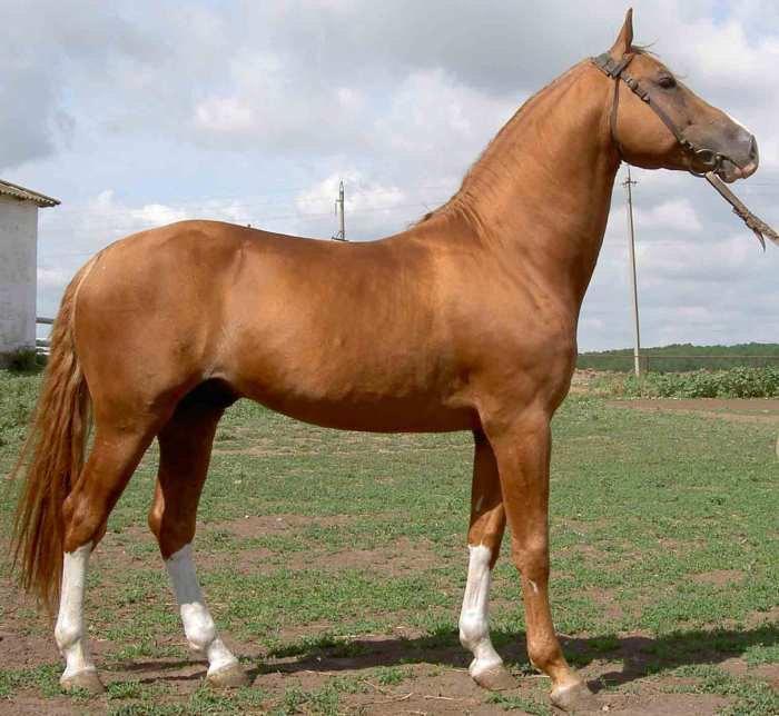 жеребец-производитель конного завода Зимовниковский