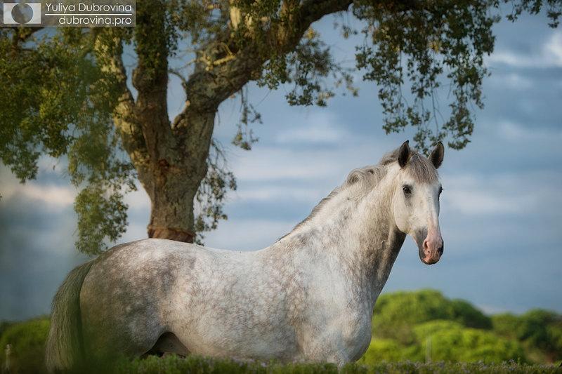 Звездный конь, Португалия