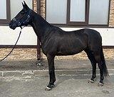 Добрый, ласковый конь,прекрасно ведёт себя в руках