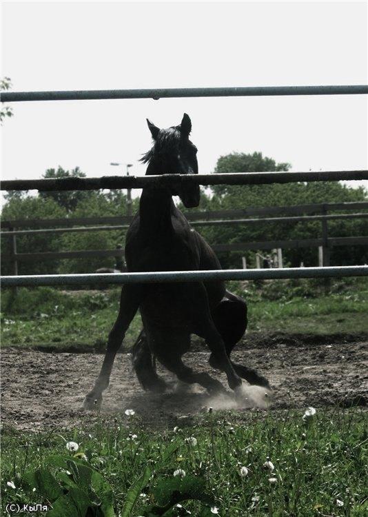 сели-встали... Фарлэп, КСК Амадей, конь принадлежит ЧВ.