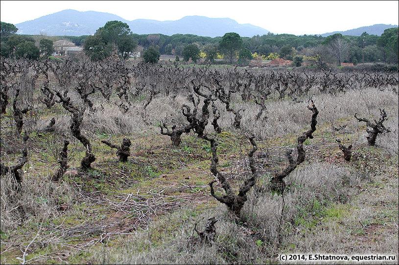 А вокруг - виноградные поля...
