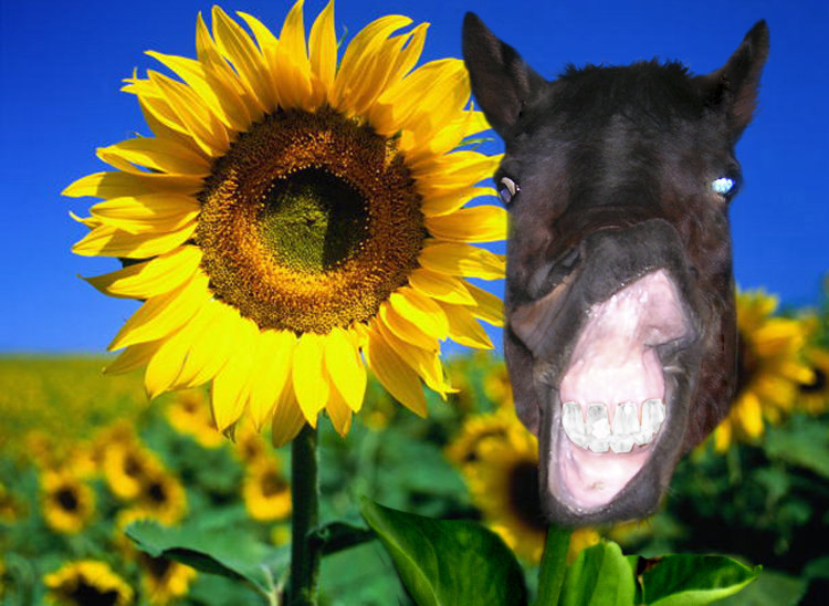 """И вырос в поле вот такой """"конный"""" подсолнух:)"""