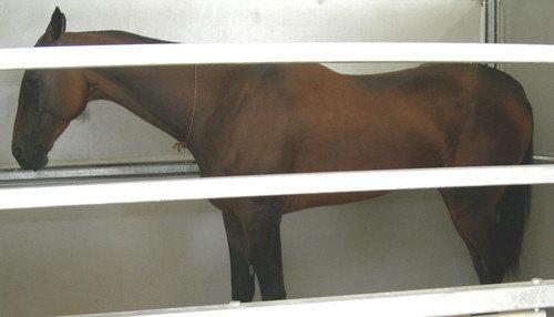ахалтекинская порода,масть гнедая,год 2004,место рождения ооо ставропольский конный завод №170 победитель выставки эквирос 2006,2007