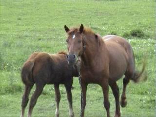 лошадь и жерибёнок