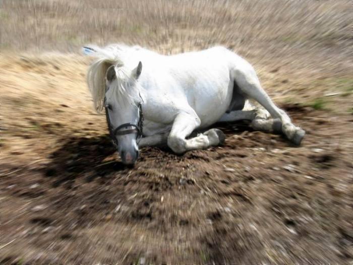 Валяние белого жеребца :))