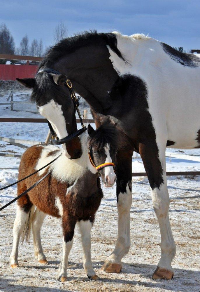Высококровный жеребец Максимус (168 см в холке) и Американская миниатюрная лошадка Paris ( 75 см в холке) жители ЧК Идальго. http://mini-pony.ru/