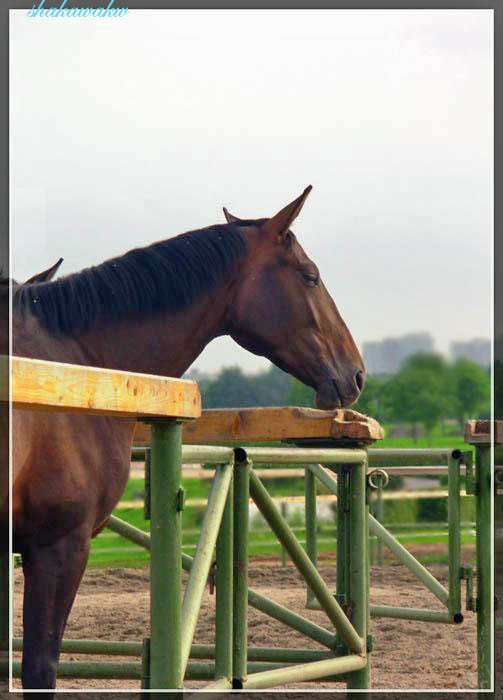 о чем мечтают лошади..?