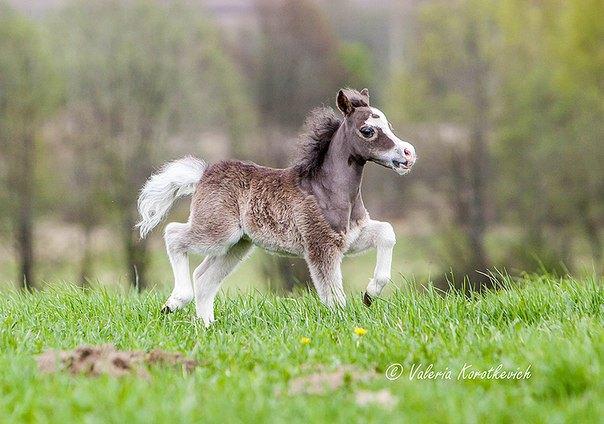AMHA серебристый жеребчик,рожден в ПХ Идальго в 2014 году.Шоу качество! Продается!