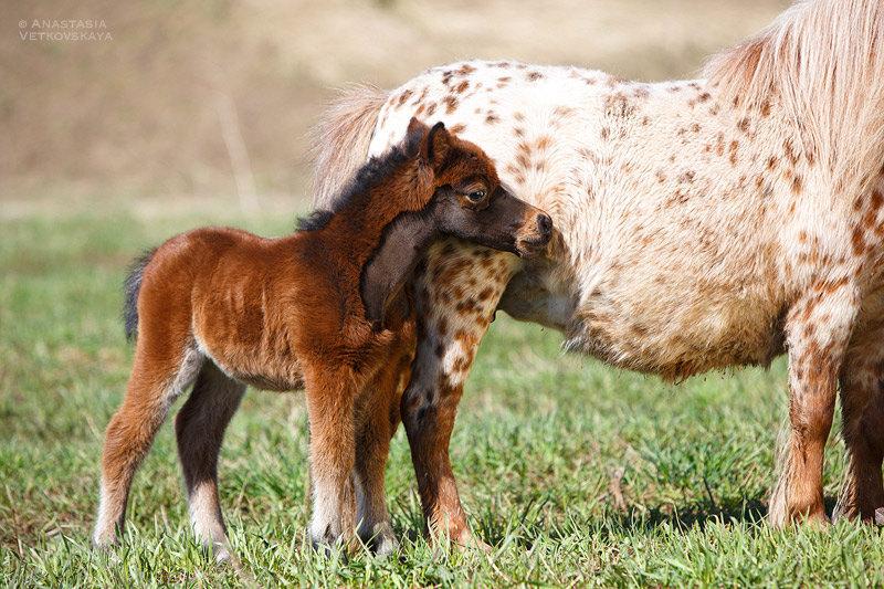 Кобылка мини-пони. Продается. Фото Анастасии Ветковской.