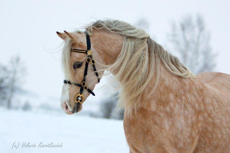Уэльская пони,секции Б,Неоднократная чемпионка керунгов,мать чемпионов.матка ЧК Идальго.