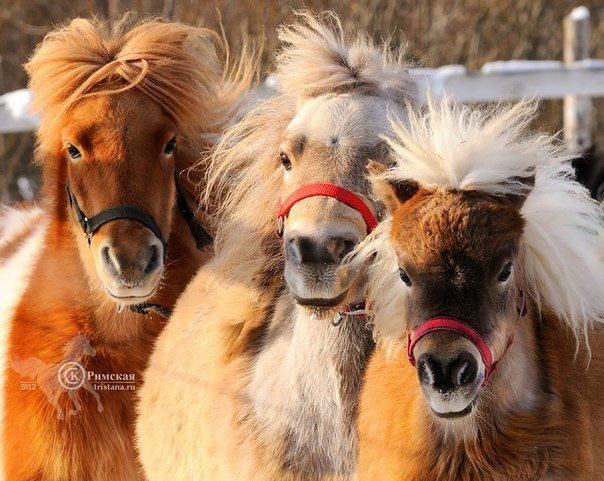 Мини лошадки Идальго зимой больше напоминают мамонтят.Фото Ксении Римской