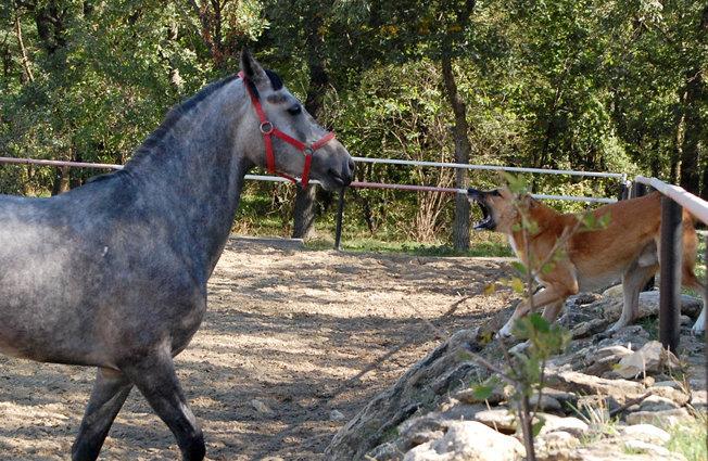 Конюшенный пес Лель гоняет Путника