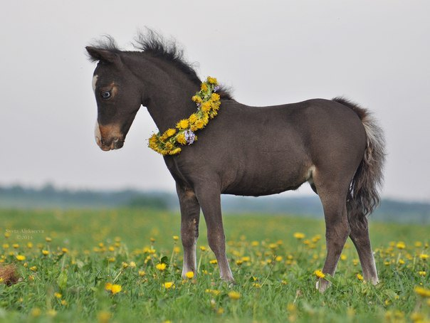 Американская миниатюрная лошадка  HF Remarcable First Kiss,дочь чемпионов,голубоглазое чудо. продается!