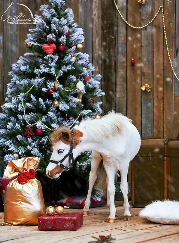 Американский миниатюрный жеребчик PHANTOM и пони ферма Идальго поздравляют Вас с Наступающим годом лошади!!!