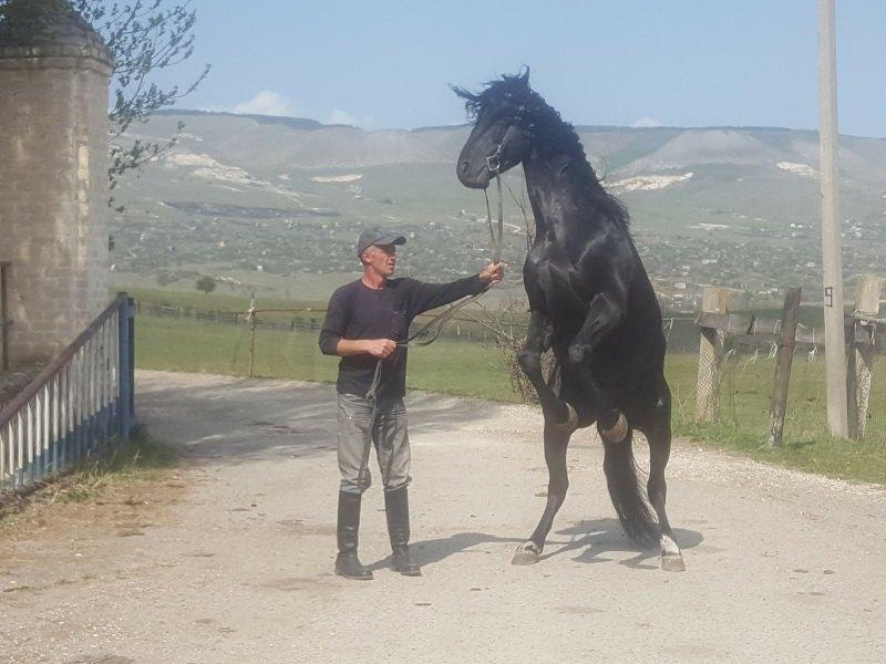 Карачаевский жеребец, Карачаевский конный завод