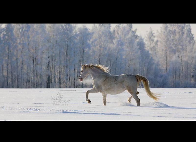 Уэльская пони Шайен.матка ЧК Идальго  http://mini-pony.ru/