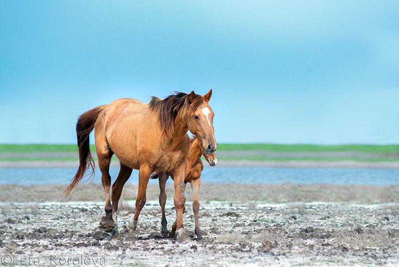 Донская кобыла с жеребёнком на берегу озера Маныч