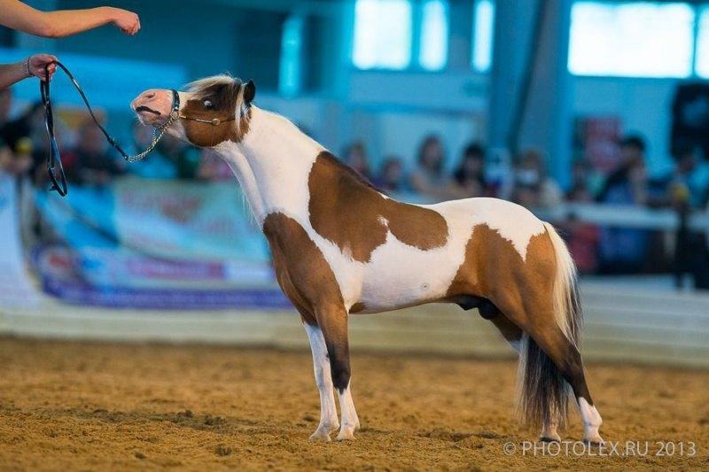 Американская миниатюрная лошадь, мультичемпиона и победитель Серебрянного Юбилея породы в Америке- теперь производитель в Идальго.