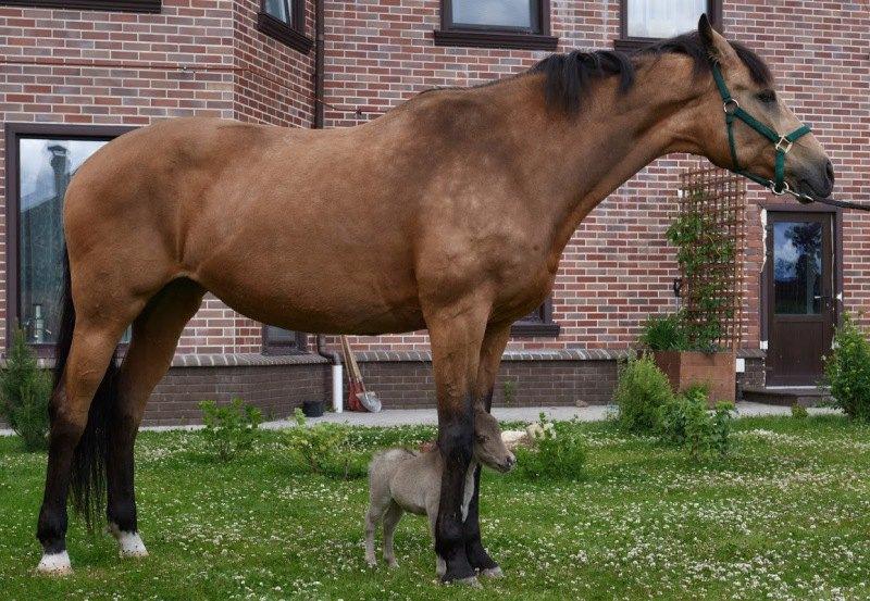 Самый маленький жеребенок,претендующий на книгу рекордов Гиннеса,рожден на ферме Идальго  http://mini-pony.ru