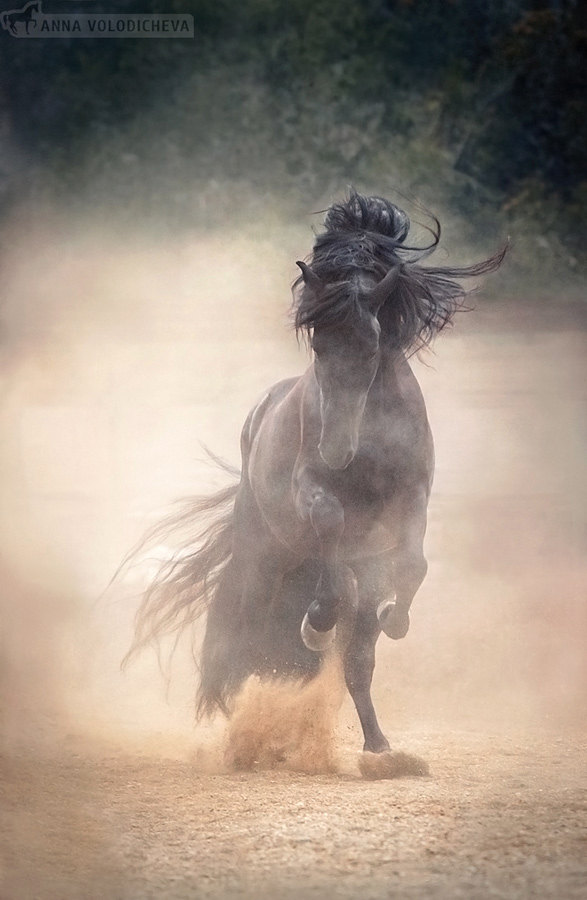 Невероятной красоты и мощи жеребец андалузской породы - Pando.