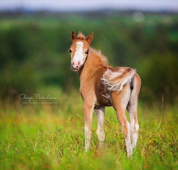 Американская миниатюрная лошадка 2014 г.р. Рождена в ПХ ИДАЛЬГО. Родители импортированы из  Америки. Продается!