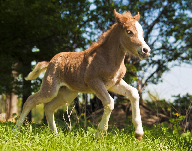 жеребенок пони