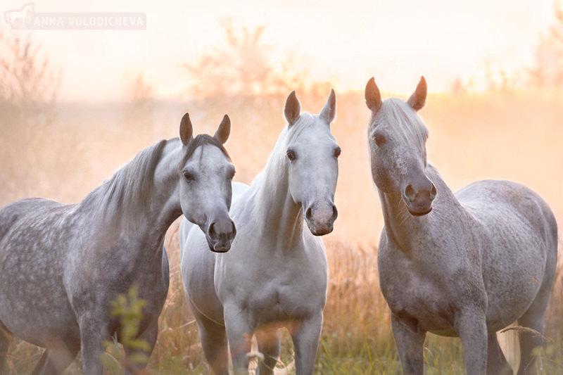 Начинаю потихоньку выкладывать нежную серию про кобыл. Слева направо: Zlota Basn, Karolina, Berna. Арабские чистокровные кобылы.