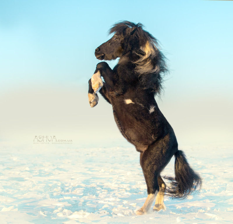 """Шетлендский пони, конюшня """"Крылатый мустанг"""", владелица Виктория Балюра"""