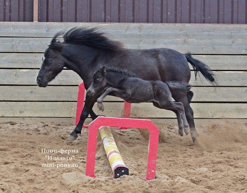Мини лошадка,жеребчик HF Smokey Maybah,его рост всего 45 см.Малыш рожден на ферме Идальго