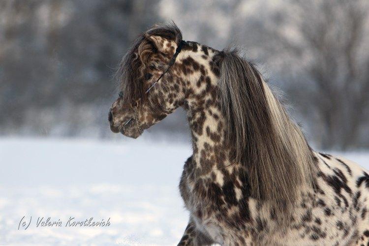 Cacper-апплуза пони .Производитль Идальго.Чемпион Европы,