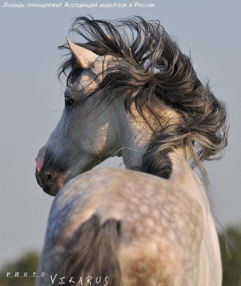 лошадь любезно предоставлена Ассоциацией андалузов в России =)