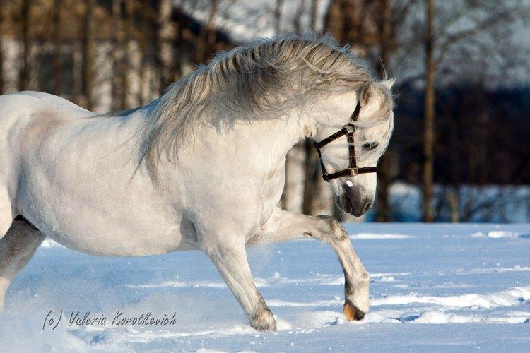 Светло-серый ,яркий жеребец с премиум происхождением.ринадлежит ЧК Идальго,Наш сайт    http://mini-pony.ru/