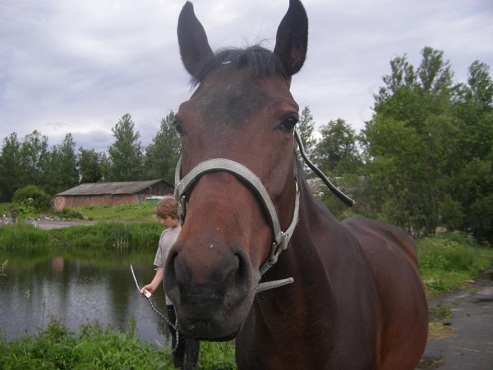 моя лошадь за полтора месяца до родов