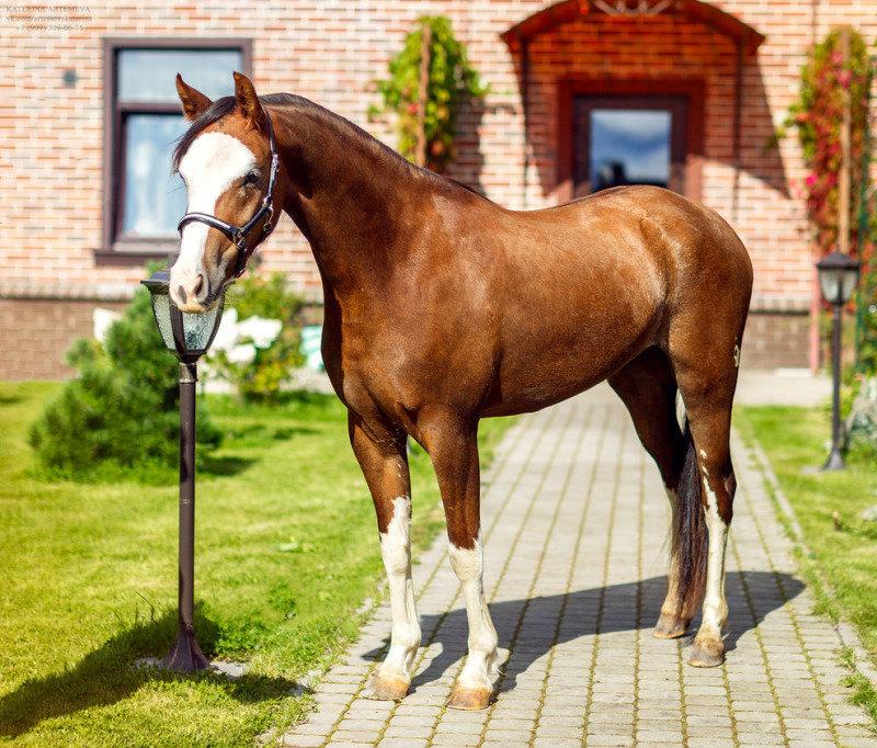 Ферма Идальго предлагает для продажи-великолепную уэльскую пони секции Б,импортирована из шоу хозяйства Голландии,бережно,профессионально заезжена под седло. Вы не встретите пони более нарядной масти!!! Это поистине качественная пони,в которой сочетаются