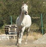Хорошая прогулочная лошадь.Очень спокойный,адекват