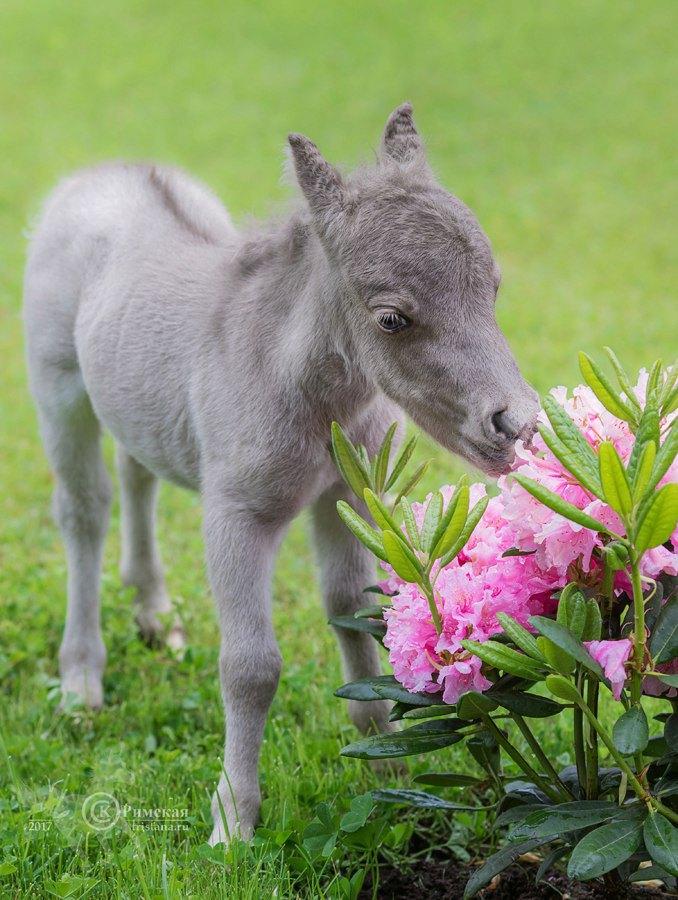 Американский миниатюрный малыш,уникально маленький жеребчик родился на ферме Идальго. Рост Гулливера всего30 см!! Фото Ксении Римской.