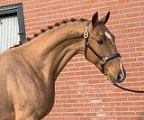 stallion DOL OLYBRIO L x RUBIN ROYAL x DONNERHALL