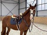 Идеальная лошадь для профи , амбициозного любителя