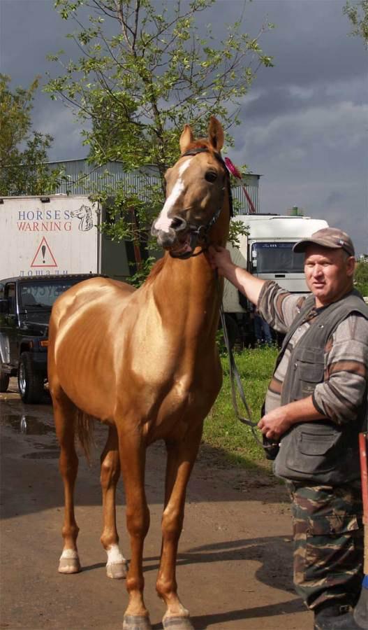 Бригадир 7-99, рожден в Зимовниковском конном заводе
