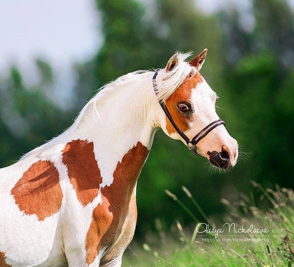 Американская миниатюрная лошадь, импорт из США, матка фермы Идальго http://mini-pony.ru