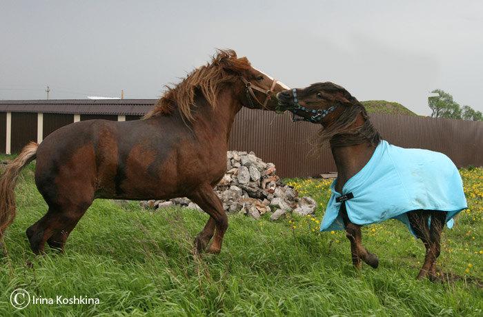 Гита - единственная лошадь, которая смогла поставит Дочу на место. Видимо размер все-таки имеет значение :))