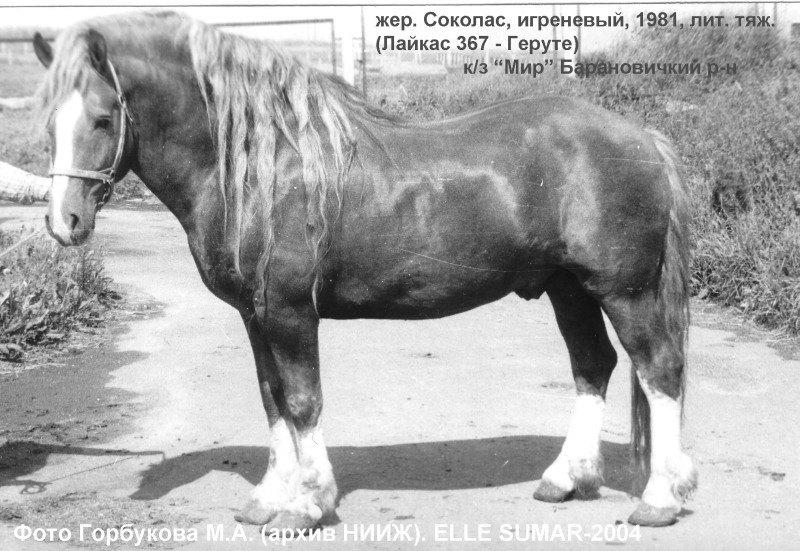 """Литовец Соколас, использовался в к/з """"Мир"""" Барановичского р-на. фото моего учителя Горбукова М.А."""