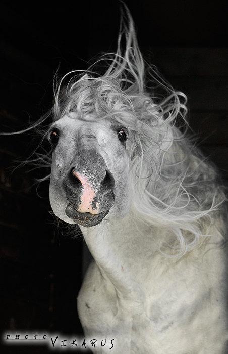 лошадь принадлежит Ассоциации андалузов в России