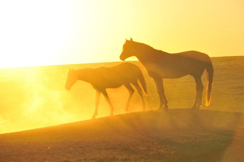 Свободные лошади озера Маныч